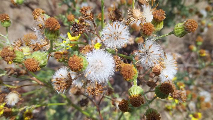 Die Samenschirmchen sind bereit zum Davonfliegen (Foto: Marilyn Utke)