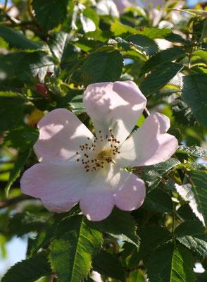 Blüte der Hundsrose (Jutta Over)