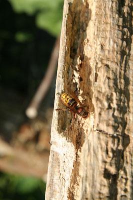 Diese Hornisse raspelt Holz für den Nestbau (Foto: NABU).