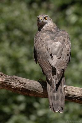 Der Habicht hat einen abgerundeter Schwanz mit dunklen Binden. (Foto: Erik Dienesch)