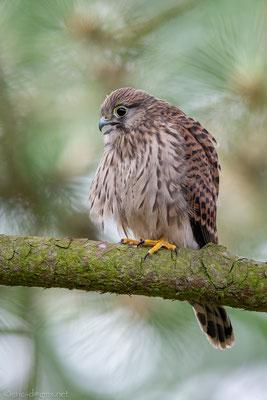 Dieser junge Falke ist ein Pflegling in einer Greifvogelauffangstation. Foto:  Erik Dienesch