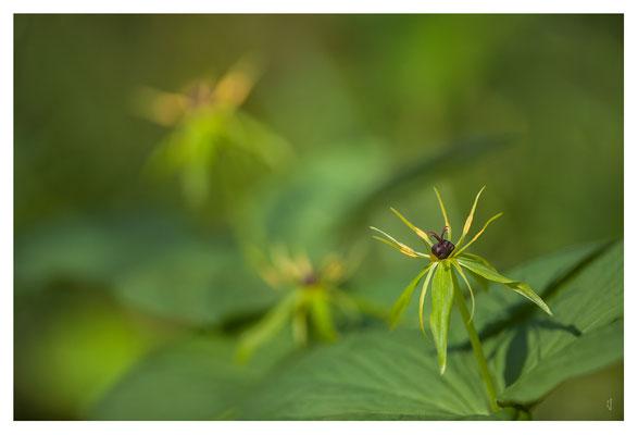 Parisette à quatre feuilles
