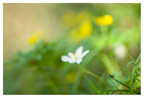 Larve de sauterelle (tettigoniidae)