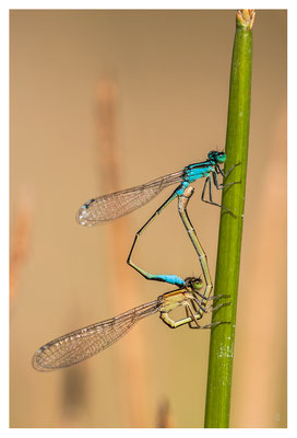 Couple d'Agrion