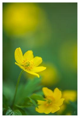 Anémone sylvie jaune