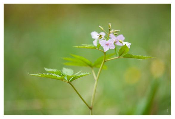 Cardamine heptaphylla