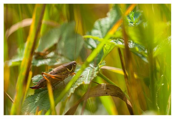 Sauterelle (Decticus albifrons ?)
