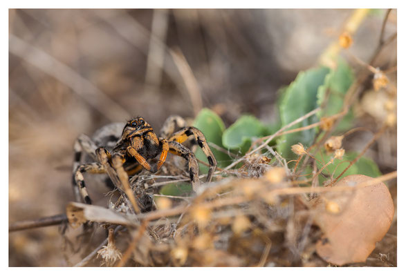 Une Araignée Loup - Lycosidae