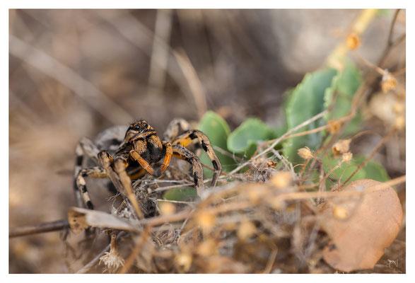 Une Araignée Loup - Lycosa fasciiventris