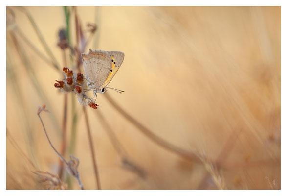 Nœud Papillon