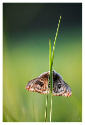 Regard en Pré - Saturnia pavonia (femelle) -