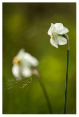 Le piège, des maux ... Narcisses des Poètes