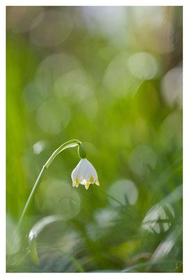 Nivéole du printemps