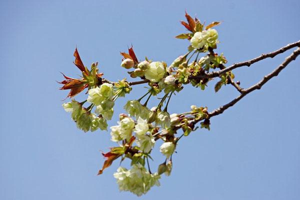 鬱金桜(ウコン)