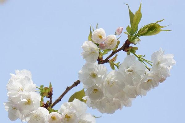 真っ白い八重桜 「太白」