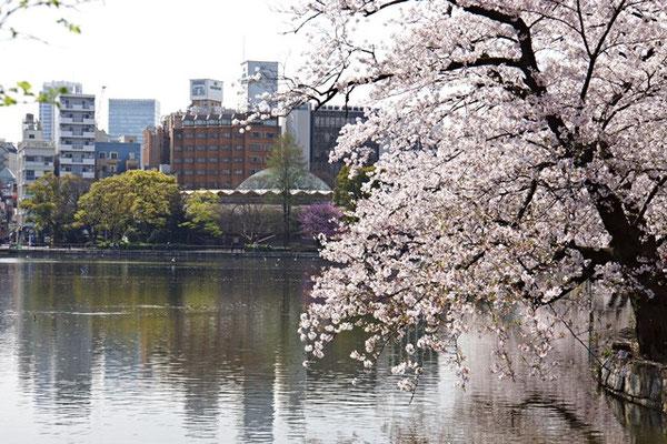 大木の桜が池を覆いそう