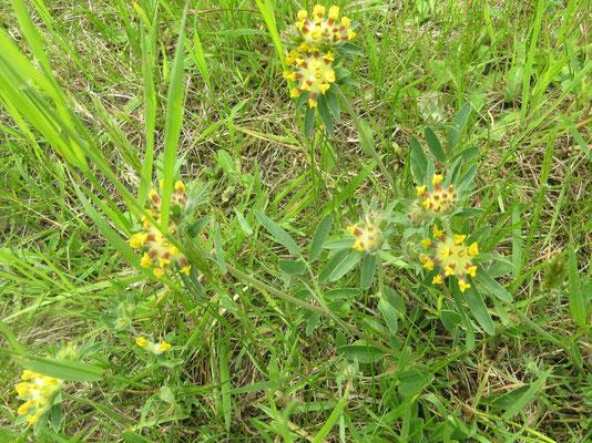 Gemeiner Wundklee (Anthyllis vulneraria)