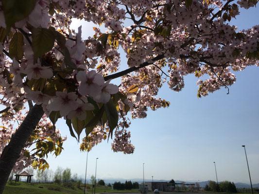 比布ICにて、北海道も桜がやっと咲きました