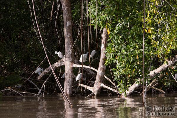 Mangroves, White Ibis, Sranan Liba (Suriname River)