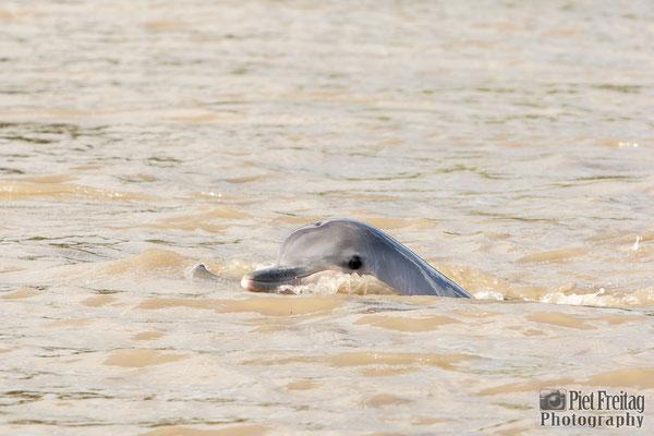 Dolphin in Sranan Liba (Suriname River)