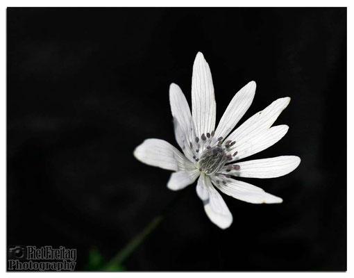 Anemone Hortensis (ssp. Heldreichii)
