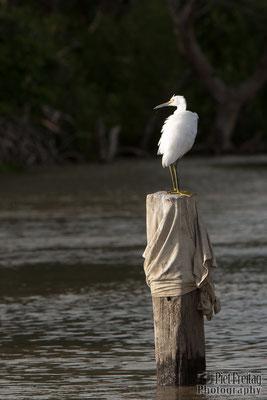 White Ibis, Sranan Liba (Suriname River)