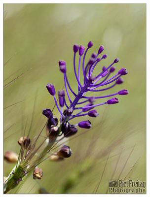 Muscari Comosum (Schopfige Traubenhyazinthe)