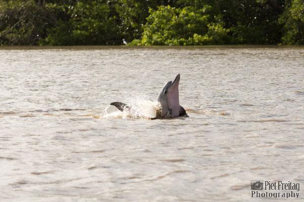 Dolphins in Sranan Liba (Suriname River)