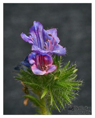 Echium Plantagineum (Wegerichblättriger Natternkopf)