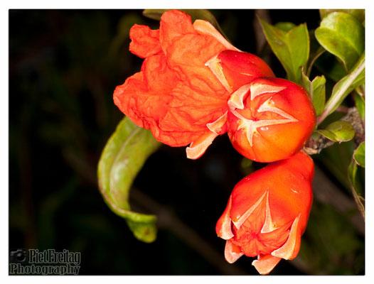 Punica Granatum (Granatapfel)