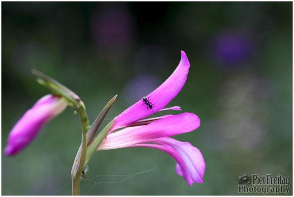 Gladiolus Italicus (Italienische Gladiole)
