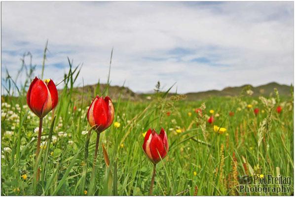 Tulipa Doerfleri (Tulpe Doerfler)
