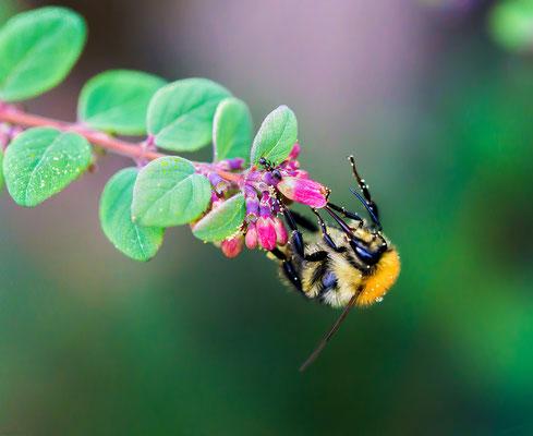 Hummel und Ameise an Blüten