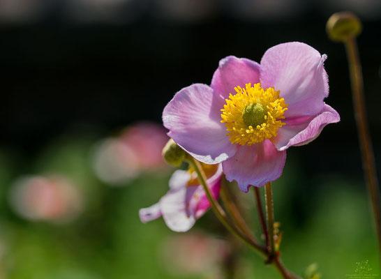 Buschwindröschen-rosa
