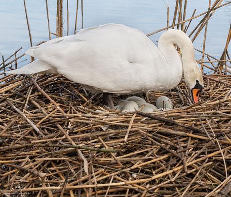 Schwan im Nest mit Eier