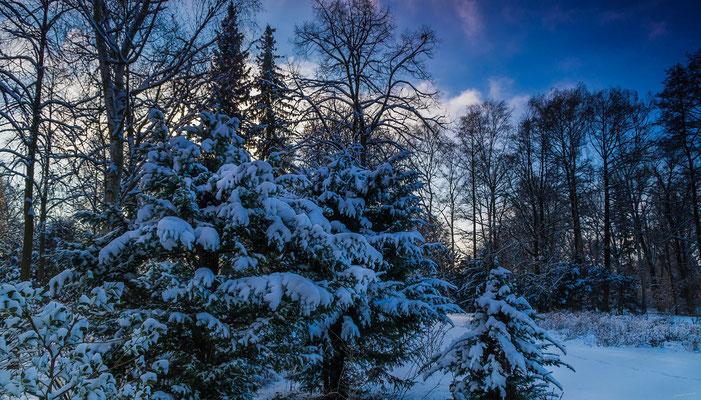 Schneebedeckte Tannen im Park