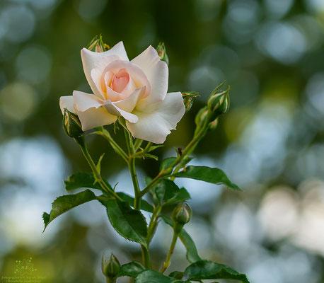 Rose-Bokeh