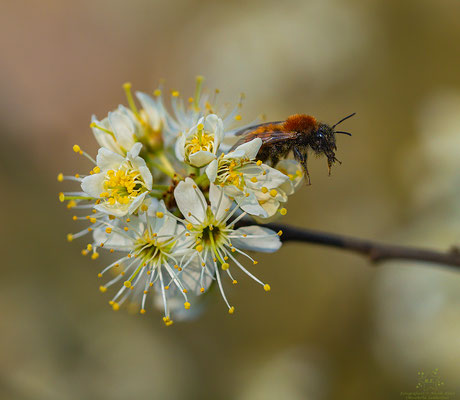 Weiße Blüten mit einer Fuchsroten Lockensandbiene