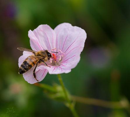Biene-Blüte
