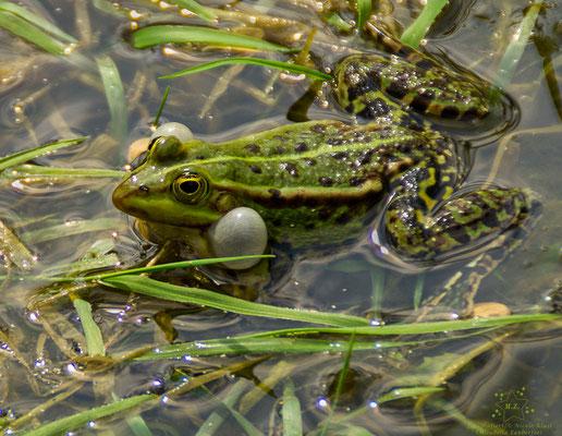 Frosch- Schallblasen