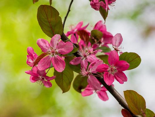 Blüten-rosa