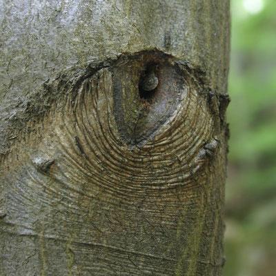 """Buche / """"Auge mit Pupille"""""""