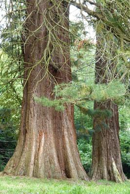 Mammutbäume in Putbus
