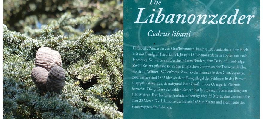 Libanon-Zeder im Schlosspark Bad Homburg