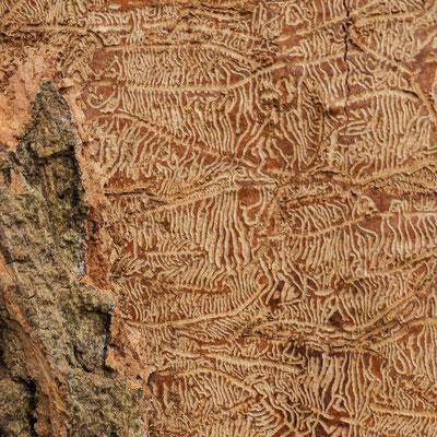 Spuren unter der Eschenrinde
