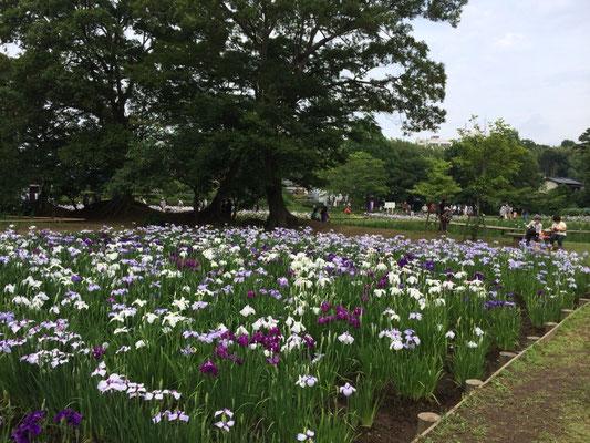 佐倉城址公園菖蒲写真