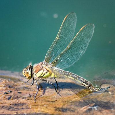 Libelle - Makrofotografie in Trier