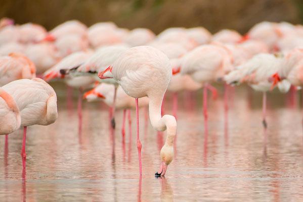 Flamingos in der Camarque, Südfrankreich