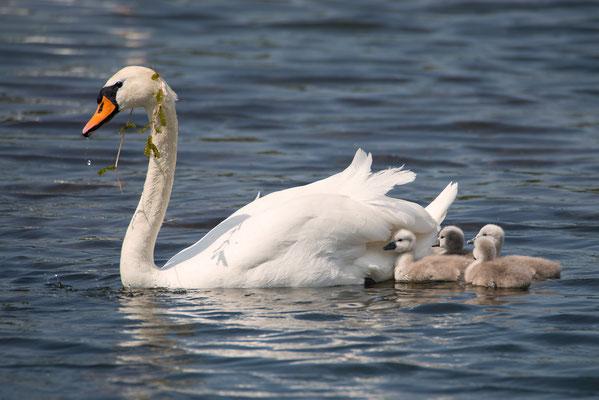 Schwanenmutter mit ihren Jungen