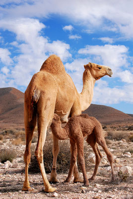 Kamelmutter mit Neugeborenem
